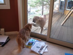 Housecat sees a cougar