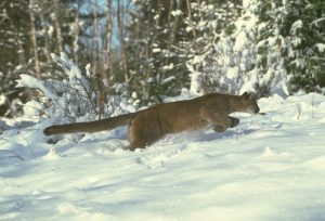 Cougar in the snow