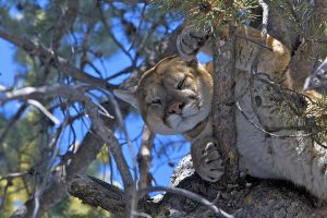 Collared cougar in tree