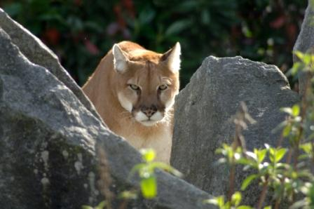 A cougar focuses on its prey with intense concentration, never shifting its gaze even when circling around or changing position.