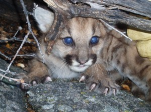 This three-week old cougar kitten was photographed in southern California by Eric York while working for UC Davis Wildlife Health Center.