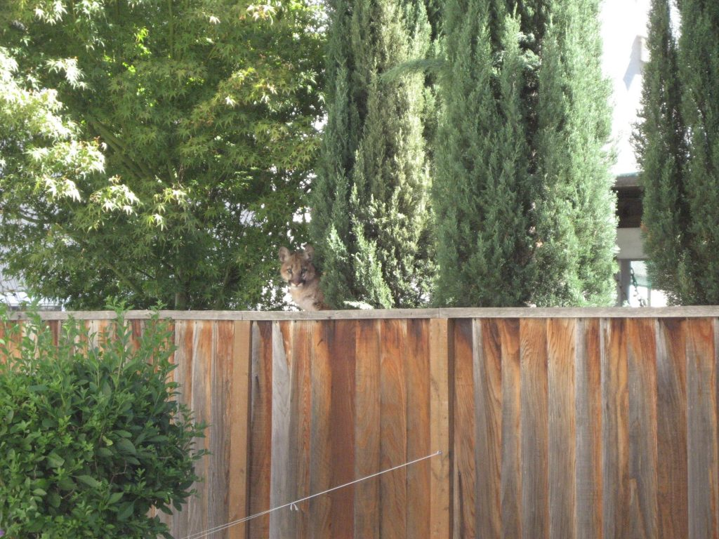 Can you see this cougar peeking over the backyard fence? Jumping over it would be as easy as for the big cat as blinking an eye.