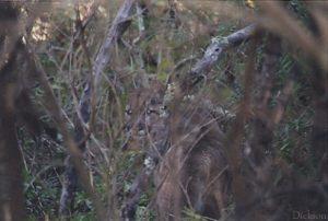 hidden cougar