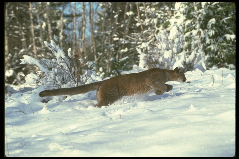 Cougar running in snow.