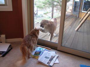 Housecat sees a cougar